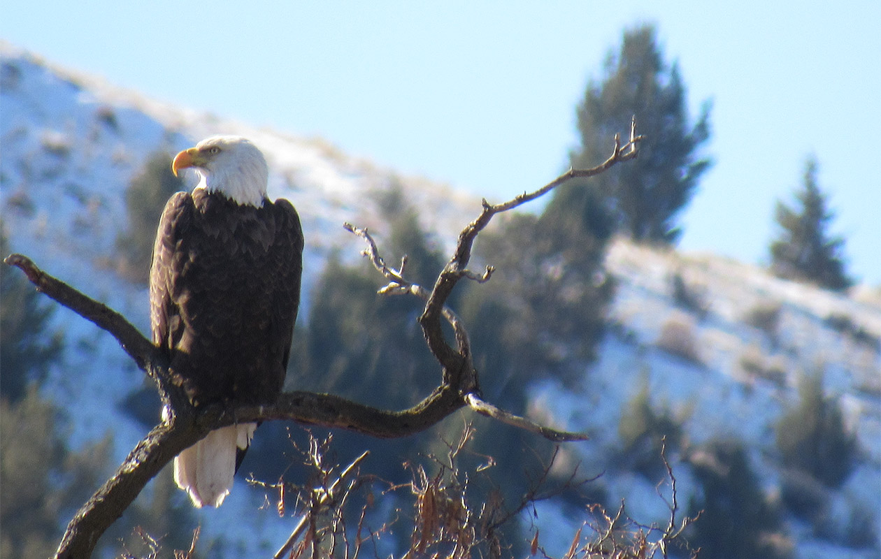Bald eagle on branch in winter