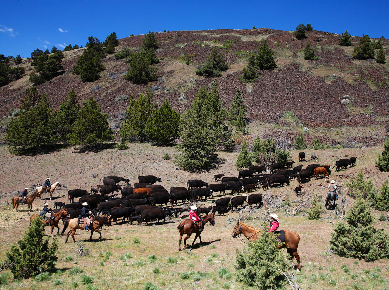 Cowboys on a cattle drive