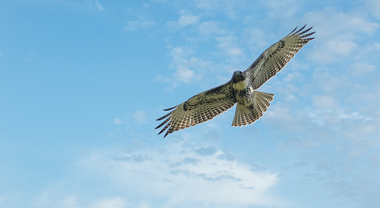 Red tailed hawk soaring in a blue sky