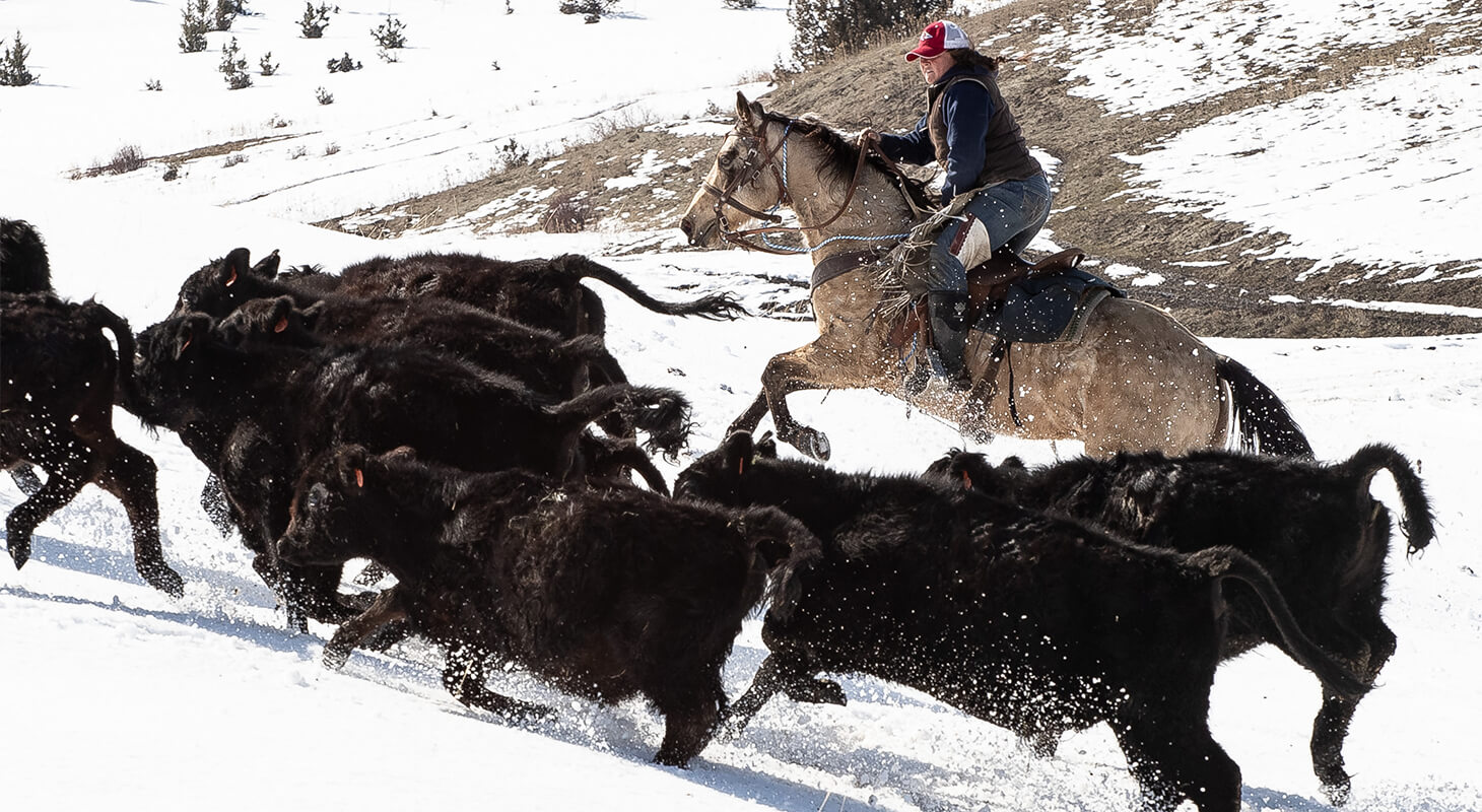 Winter Cattle Drive