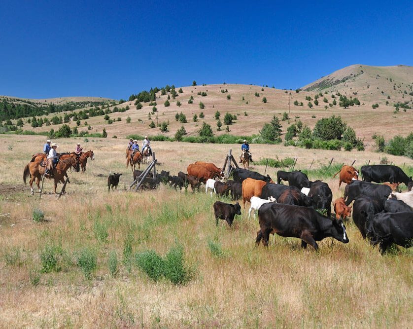 Cattle drive in Fossil oregon