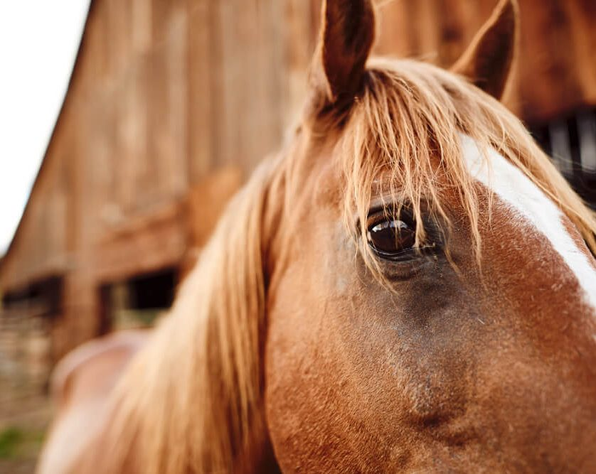 Closeup of a quarter horse