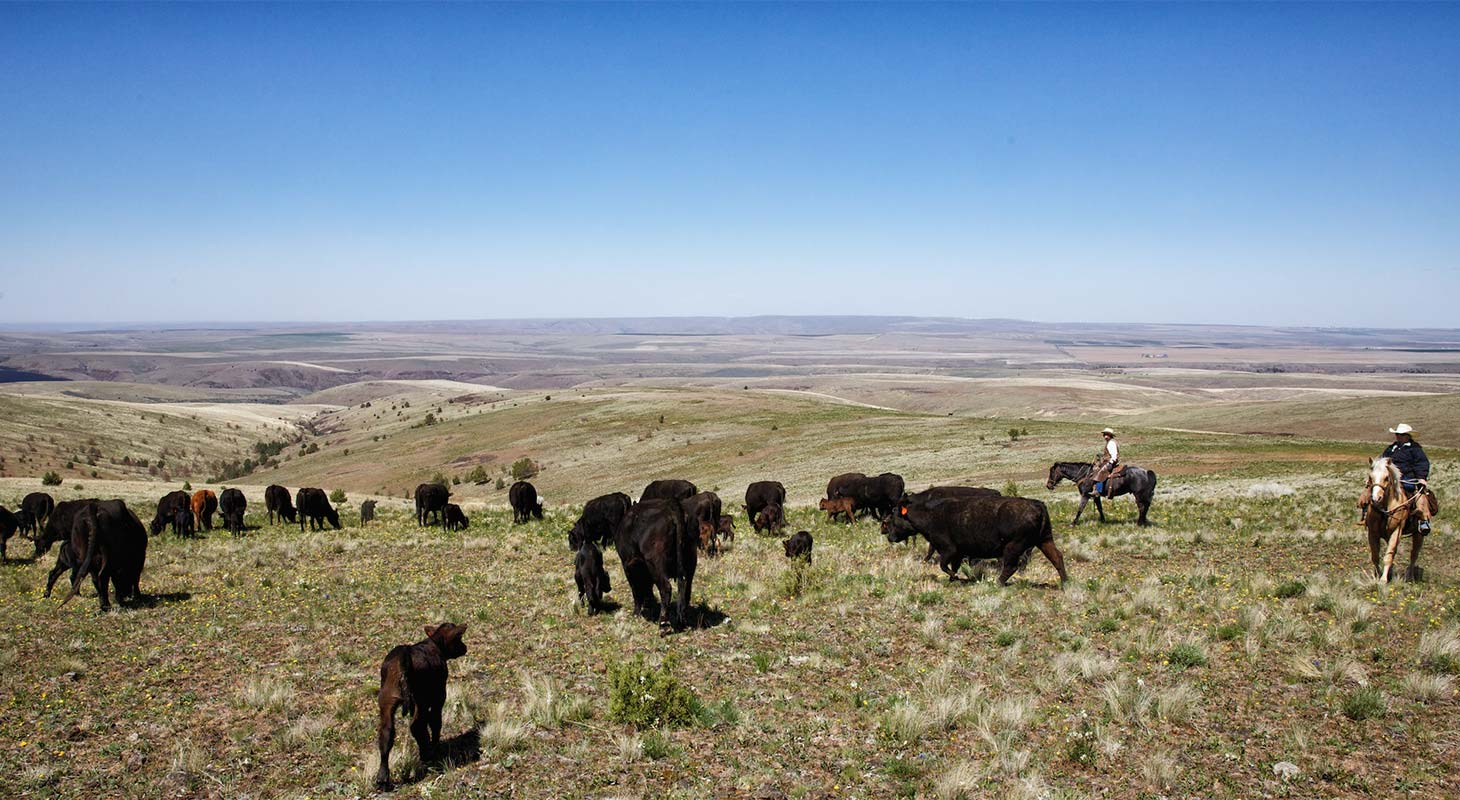 Cattle drive in the high desert hills of Eastern Oregon