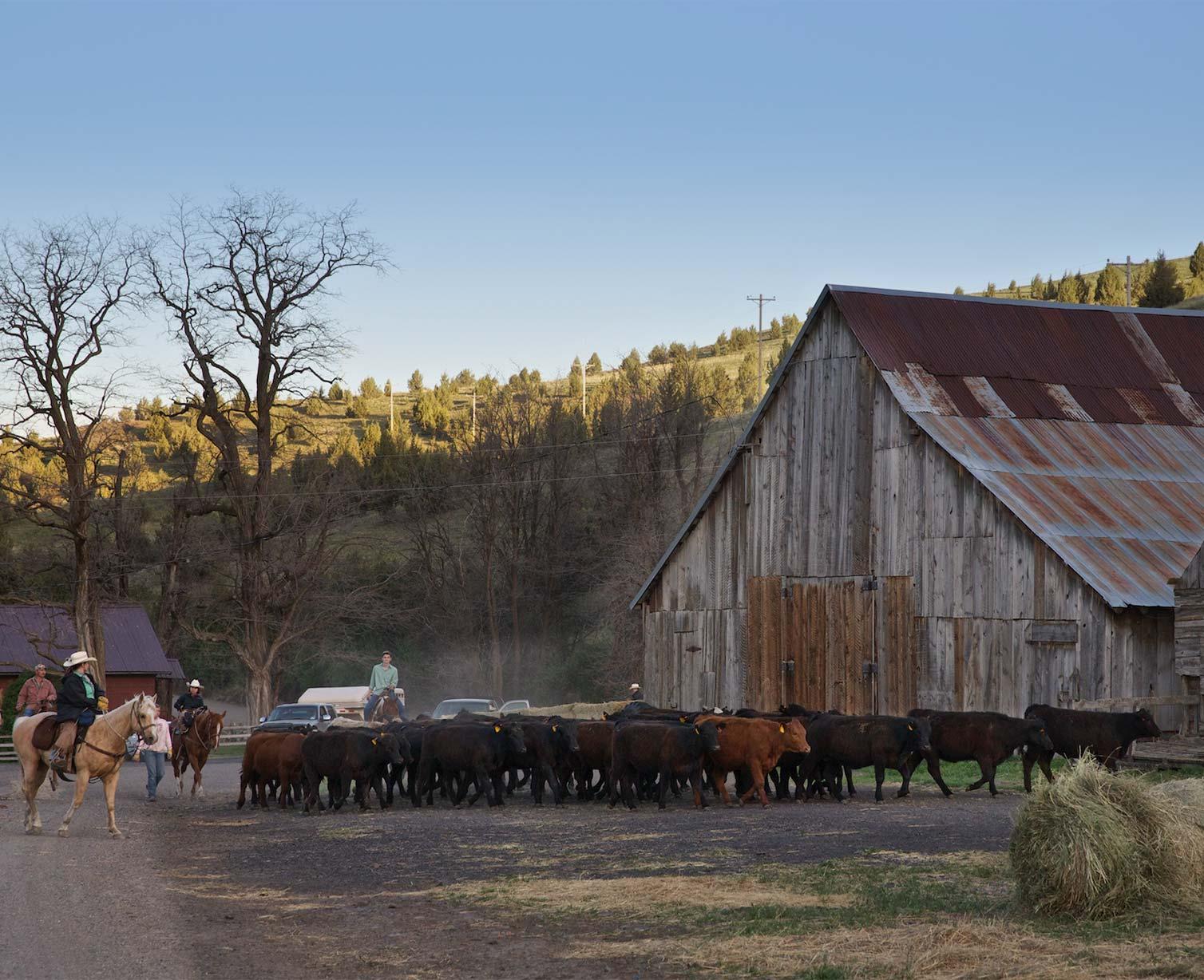 Herding cows near a barn