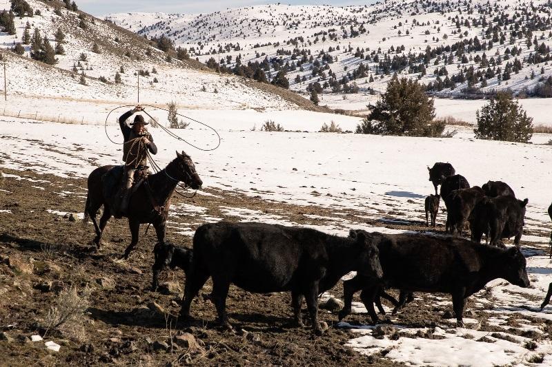 Brett Kandoll cowboy roping newborn calves