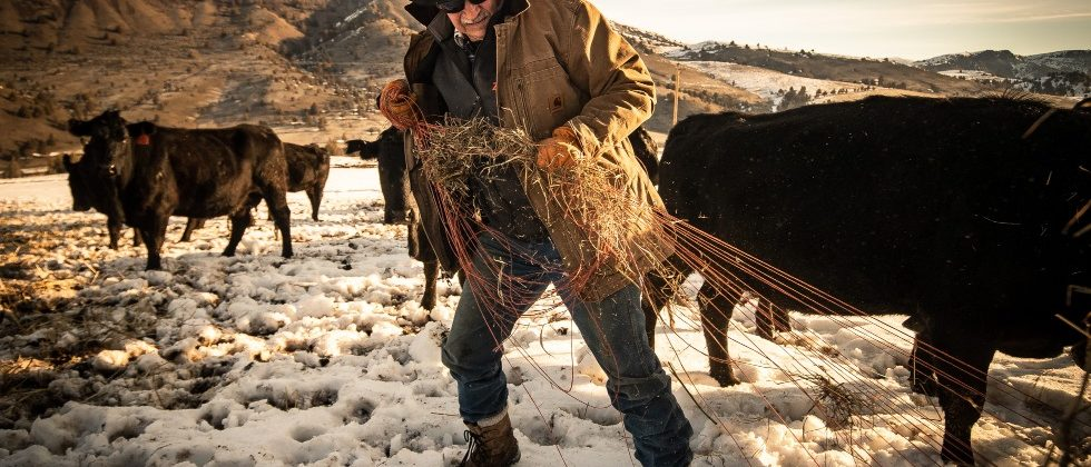 Phil Wilson pulling orange binding twine from bales for cattle feeding